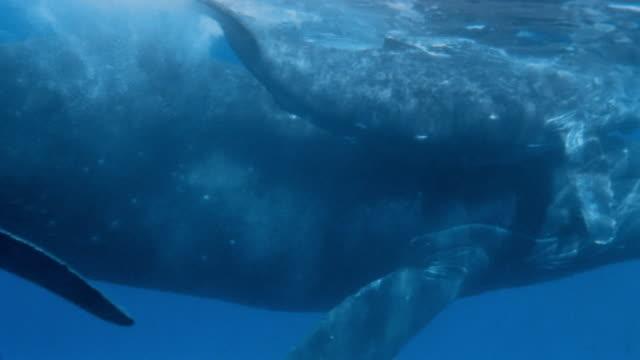 vídeos de stock e filmes b-roll de cu, whale with calf swimming together - barbatana parte do corpo animal