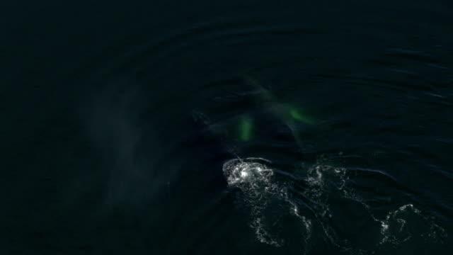 vídeos de stock, filmes e b-roll de whales breach the surface of the ocean and spout water from their blowholes. - espiráculo