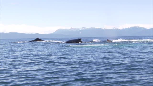 vidéos et rushes de whales breach the surface of the ocean in alaska. - cétacé