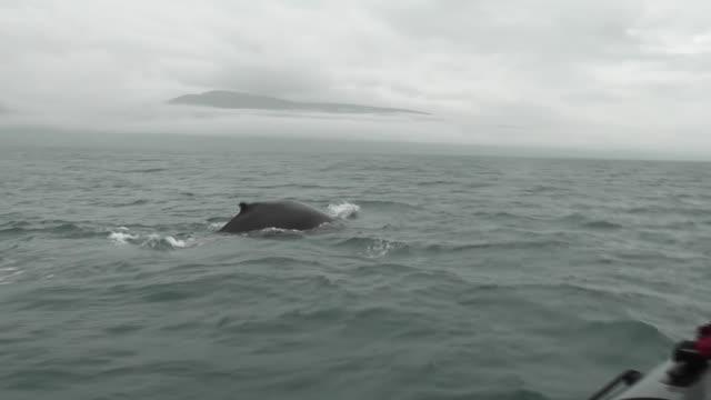 whales filmed from tourist whalewatching boat off iceland - blåshål djurkroppsdel bildbanksvideor och videomaterial från bakom kulisserna