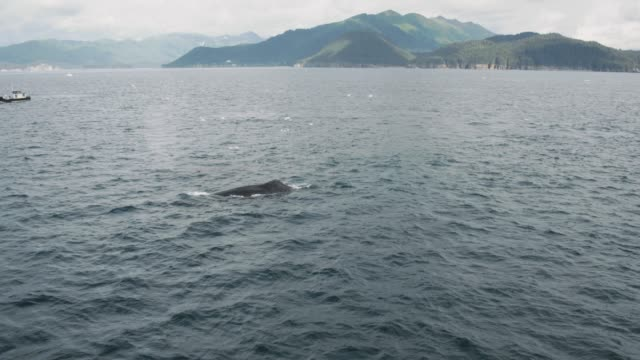 whales in the wild - kenai stock videos & royalty-free footage