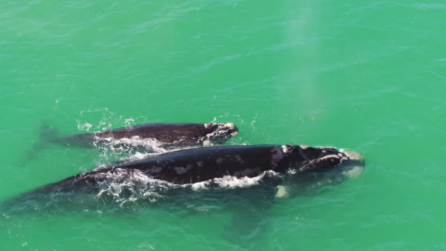 whales playing in the sea - southern right whale stock videos & royalty-free footage