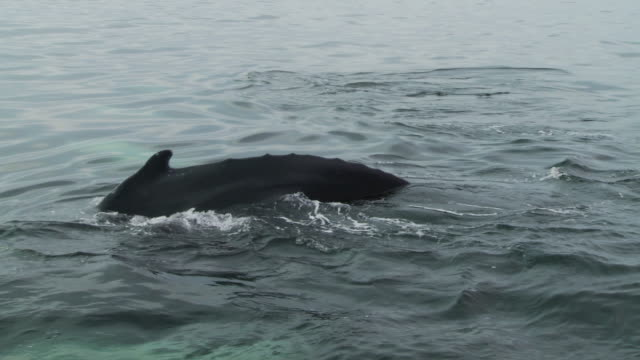 stockvideo's en b-roll-footage met whales surface and expose their dorsal fins. - rugvin
