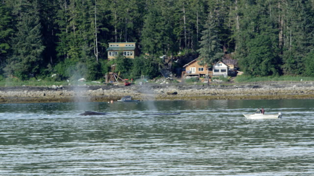 whales swimming along the shore in alaska - cetacea stock videos & royalty-free footage