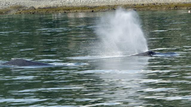 vídeos y material grabado en eventos de stock de whales swimming along the shore in alaska - salir del agua