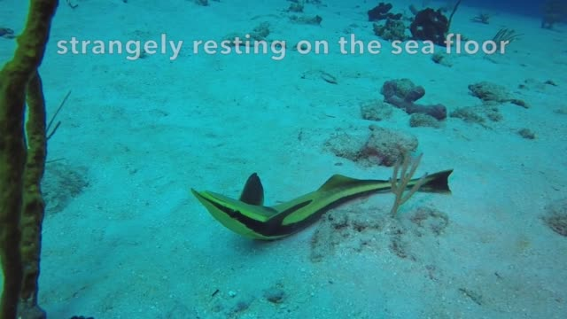 what kind of a lazy bones lays motionless in the sand? no this is not pertaining to a lazy vacationer after a night of too much fun! after cruising... - remora fish stock videos & royalty-free footage