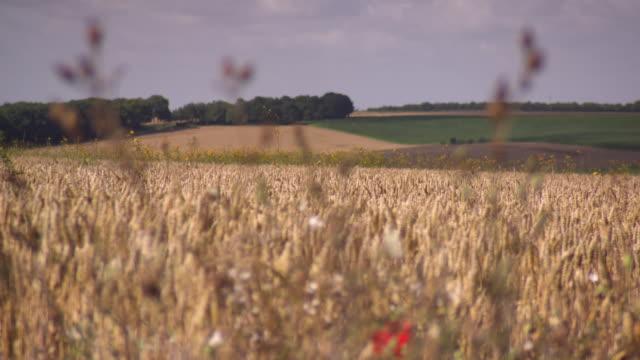 Wheat and dandelions grow in fields in the Somme region, Hauts-de-France.