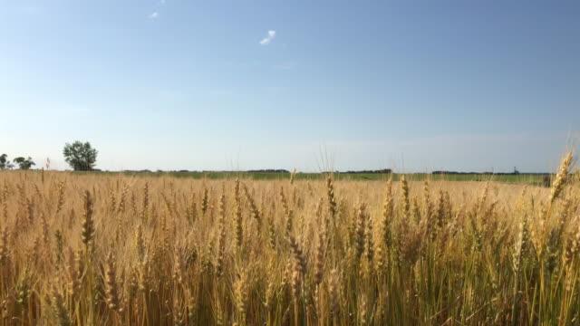 wheat and sunlight - 穀物 ライムギ点の映像素材/bロール