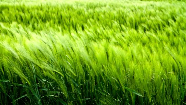grano e vento - zona erbosa video stock e b–roll