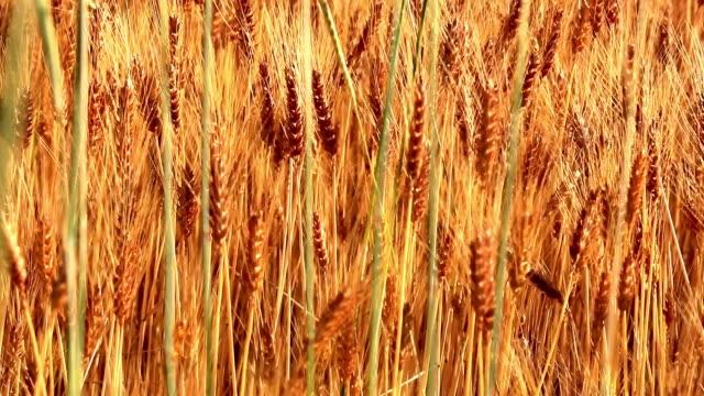 wheat at field