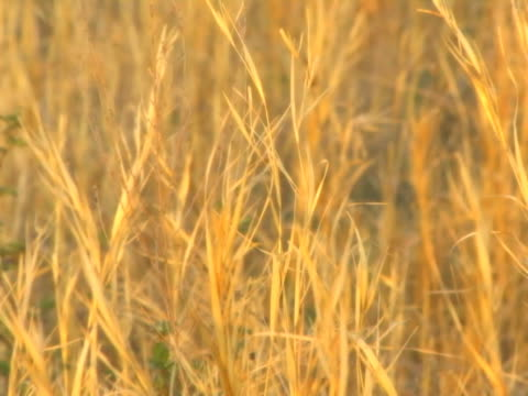 wheat blowing in the wind (seamless loop) - soft focus stock videos & royalty-free footage