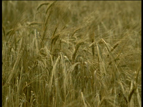 "vidéos et rushes de wheat blows in breeze, devon - ""bbc natural history"""