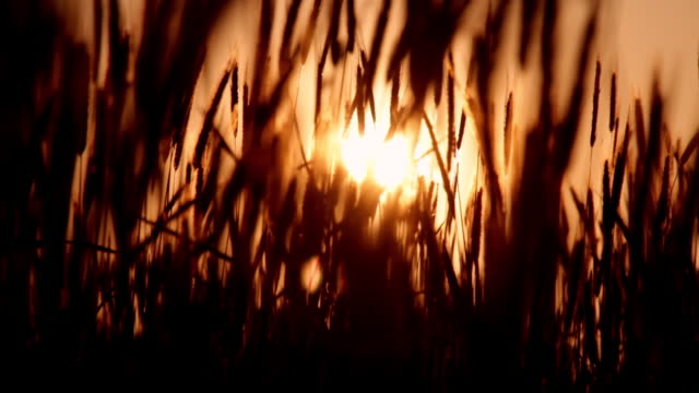 wheat blows in the wind at sunset. - weizen stock-videos und b-roll-filmmaterial