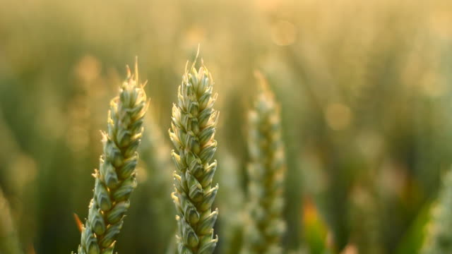vidéos et rushes de gros plan de blé - sans mise au point and équilibre