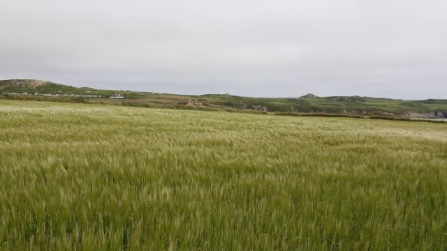 wheat crop blowing in the wind on the pembrokeshire coast, wales, uk. - pembrokeshire stock videos & royalty-free footage