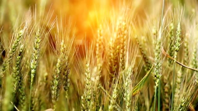 Wheat crop field during summer season