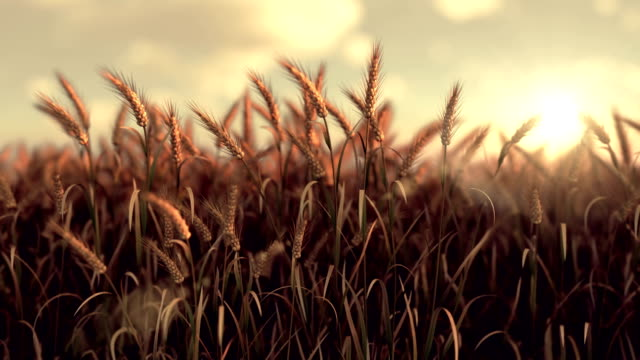 wheat crop field swaying in the wind in morning sunlight - image stock videos & royalty-free footage