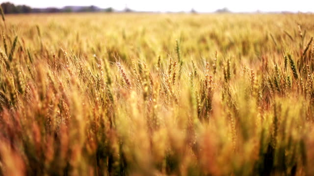 wheat crop field swaying though wind - swaying stock videos & royalty-free footage