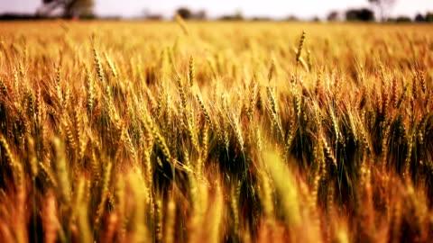 vidéos et rushes de champ de culture de blé se balançant bien vent - champ