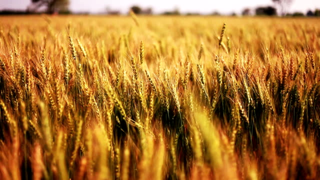 vídeos de stock e filmes b-roll de wheat crop field swaying though wind - campo