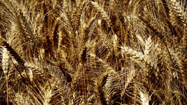 wheat crop field swaying though wind - paglia video stock e b–roll