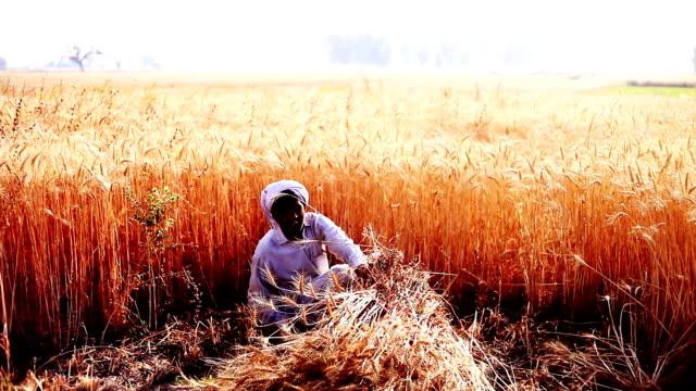 wheat crop harvesting - sickle stock videos & royalty-free footage