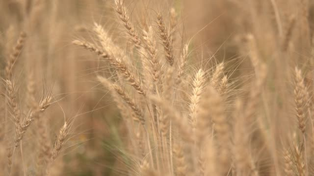 wheat crop in wind - crop stock videos & royalty-free footage
