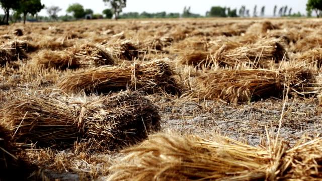 vídeos y material grabado en eventos de stock de cultivo de trigo listo para extraer - manojo