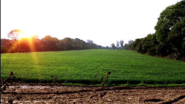 stockvideo's en b-roll-footage met tarwe gewas & sunrise - volkorentarwe