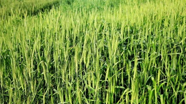 wheat crop swaying through wind