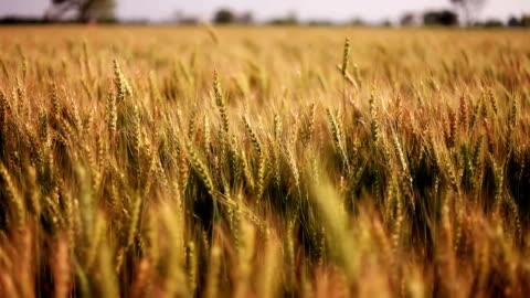 vidéos et rushes de des cultures de blé élan par le biais de vent - champ