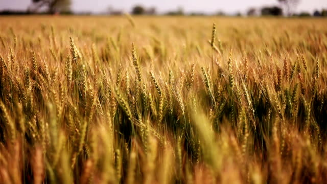 wheat crop swing through wind - agricultural field stock videos & royalty-free footage