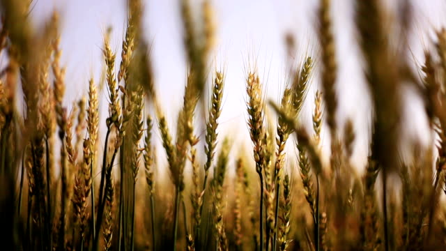wheat crop swing through wind - monoculture stock videos & royalty-free footage