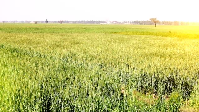 Des cultures de blé élan par le biais de vent