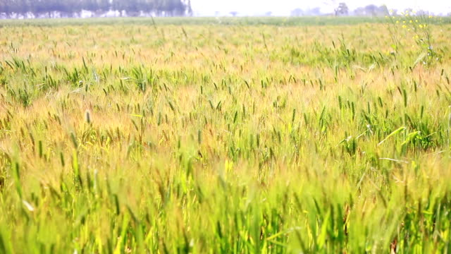 wheat crop swing through wind - wheat stock videos & royalty-free footage