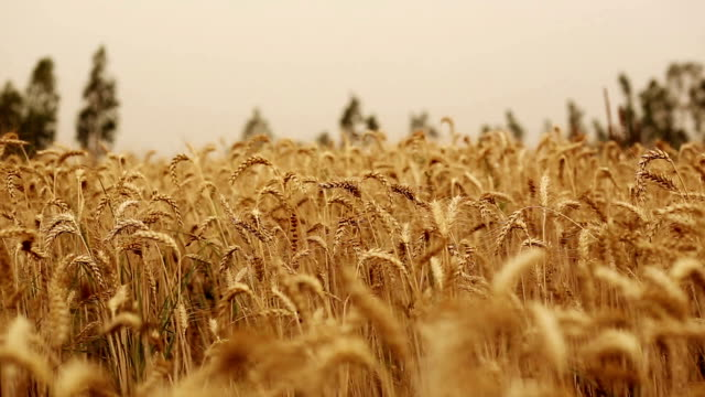 wheat crop swing through wind - image focus technique stock videos & royalty-free footage