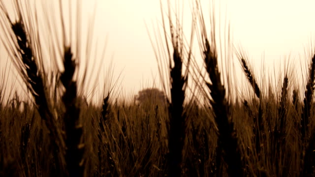 vídeos y material grabado en eventos de stock de cultivo de trigo - imagen virada