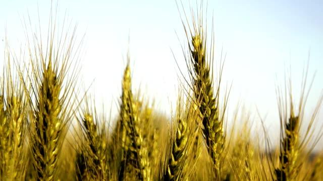 Weizen-Crop