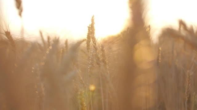 vete grödor korn fält och solnedgång, slow motion - blurred motion bildbanksvideor och videomaterial från bakom kulisserna