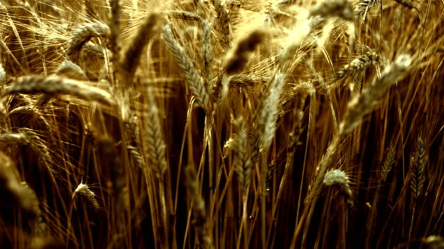Wheat Crops In The Field