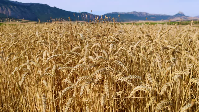 wheat cultivation near the dolmen in the alto de la huesera in laguardia in the rioja alavesa with the sierra de cantabria in the background. alava, basque country, spain, europe - wood grain stock videos & royalty-free footage