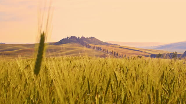 r/f wheat ear agains villa in tuscan countryside - ear of wheat stock videos and b-roll footage