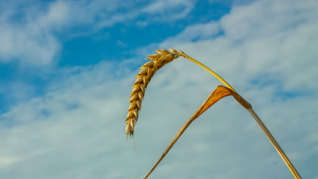 t/l wheat ear against cloudscape - ear of wheat stock videos and b-roll footage