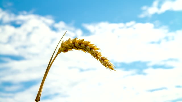 t/l wheat ear against cloudy sky - ear of wheat stock videos and b-roll footage