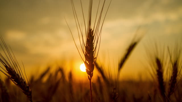 t/l wheat ear at sunrise - wheat stock videos & royalty-free footage