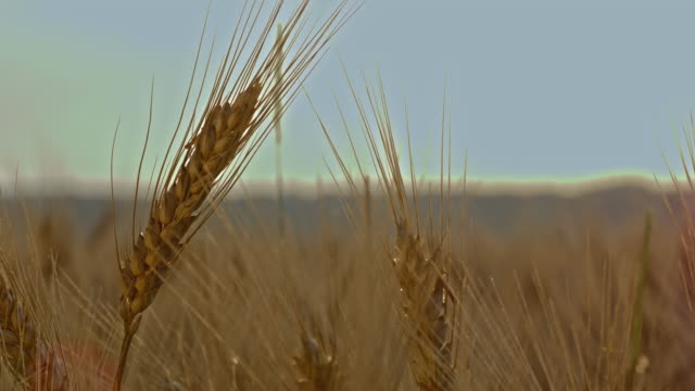 ds wheat ear in the field - ear of wheat stock videos and b-roll footage
