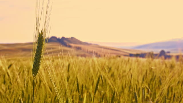 ds wheat ear in tuscan countryside - ear of wheat stock videos and b-roll footage