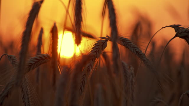 ds wheat ears at sunset - wheat stock videos & royalty-free footage