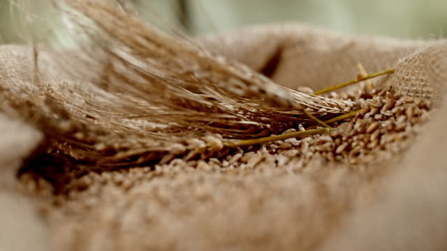 SLO MO Wheat ears falling into sack of wheat crop