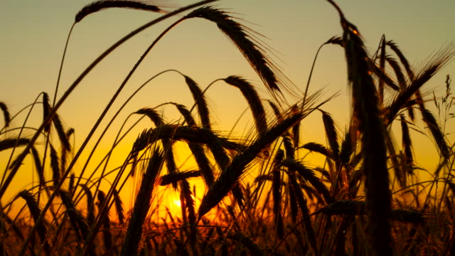 vídeos de stock, filmes e b-roll de f/l orelhas de trigo no pôr do sol - raw footage